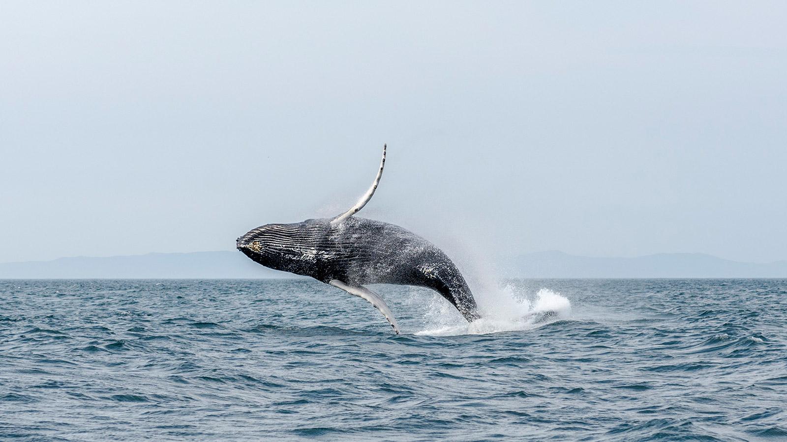 Baleine-Saint-Pierre-et-Miquelon-photo-Franck-Le-Bars
