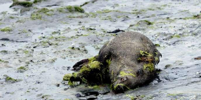 Cadavre de sanglier dans la baie de Saint Brieuc