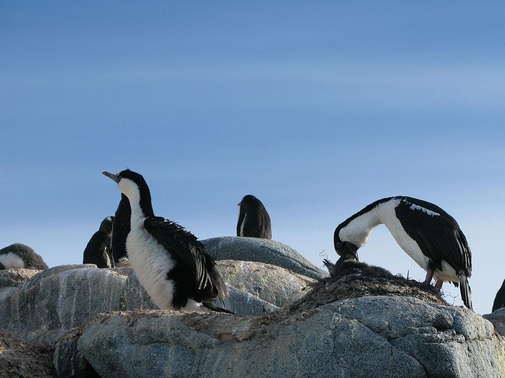 Cormorans de l'Antarctique © Serge Ouachée